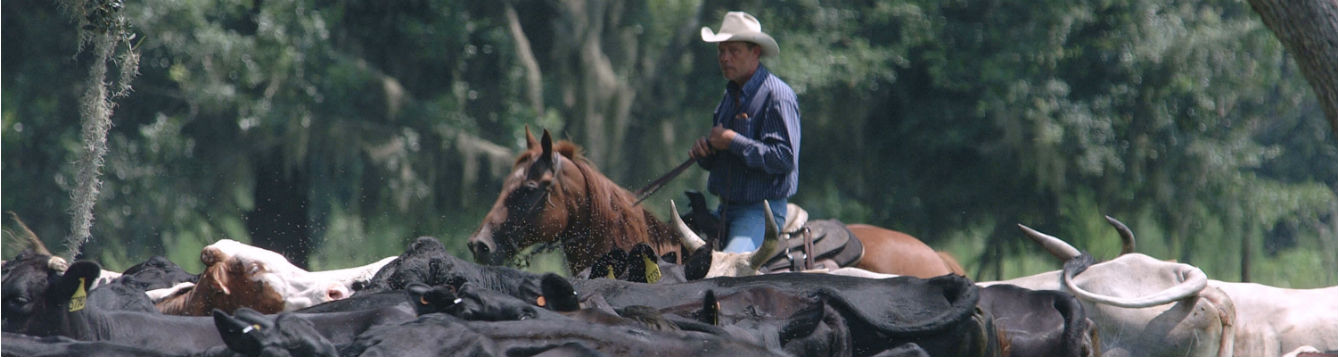 a man on horseback, a cowboy, with a herd of cattle