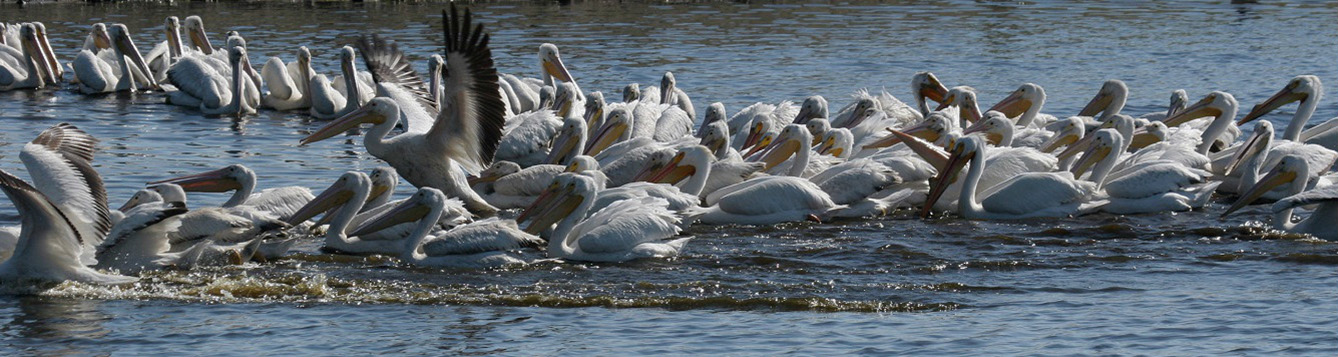 White pelicans fishing in Florida