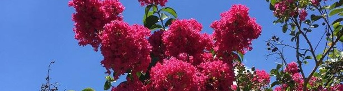 Dark pink crapemyrtles flowers against blue sky background.