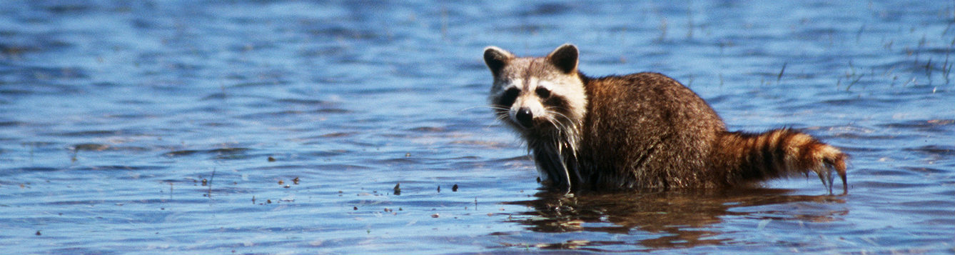 a racoon standing in water, looking towards the camera