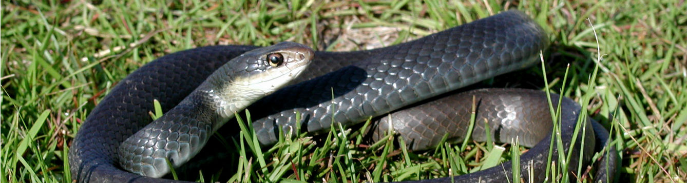 a resting black racer snake on grass