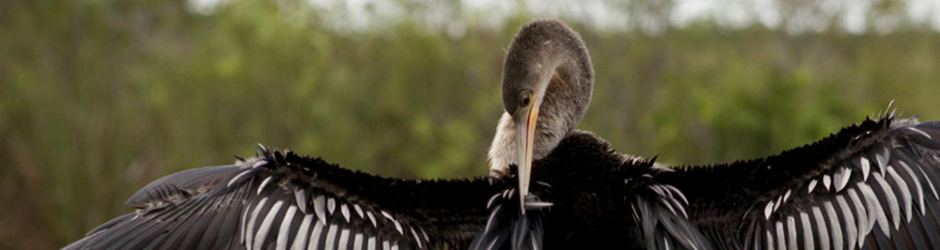 Anhinga preening it's feathers in the sun.