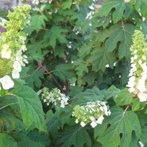 Photo of a white flowering oakleaf hydrangea