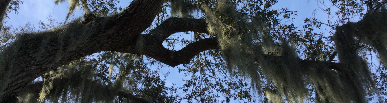 Photo of live oak branch with Spanish moss hanging from it.
