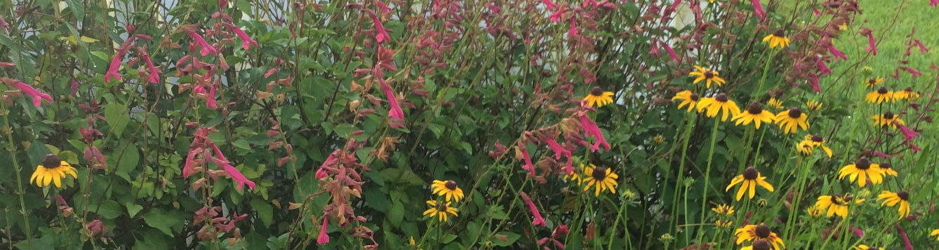 Salvia 'Wendy's Wish' and Black Eyed Susan