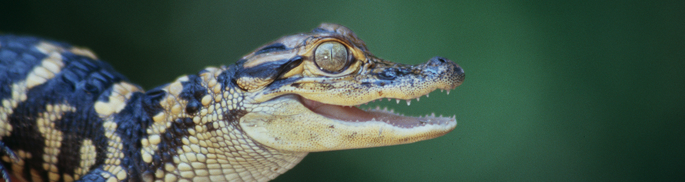 Baby alligator. IFAS Photo 006759