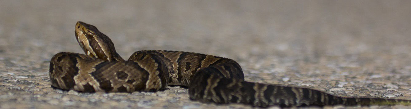 A water moccasin, also known as a cottonmouth, basking on an asphalt surface.