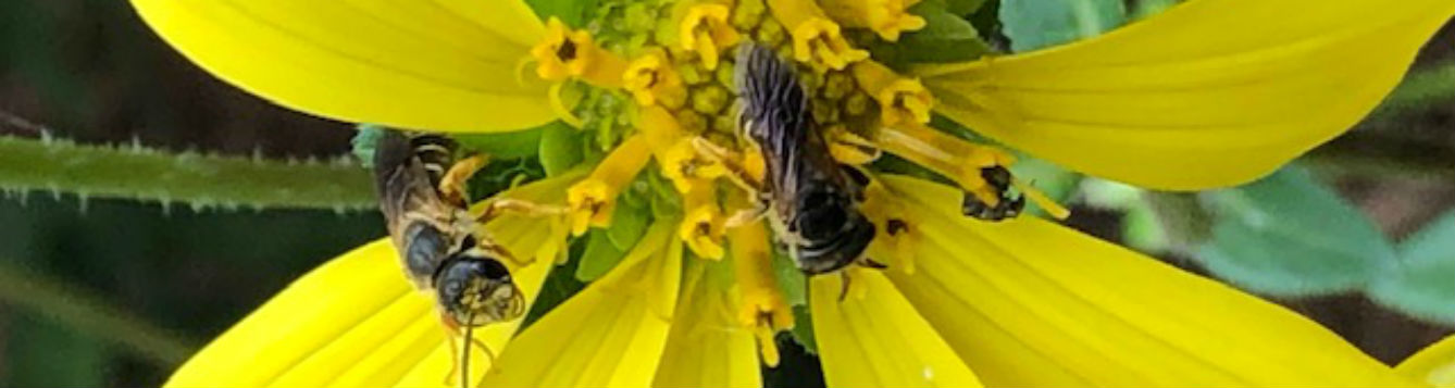 Bee on Rosinweed