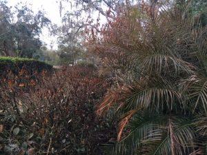 Freeze damage palm and jasmine