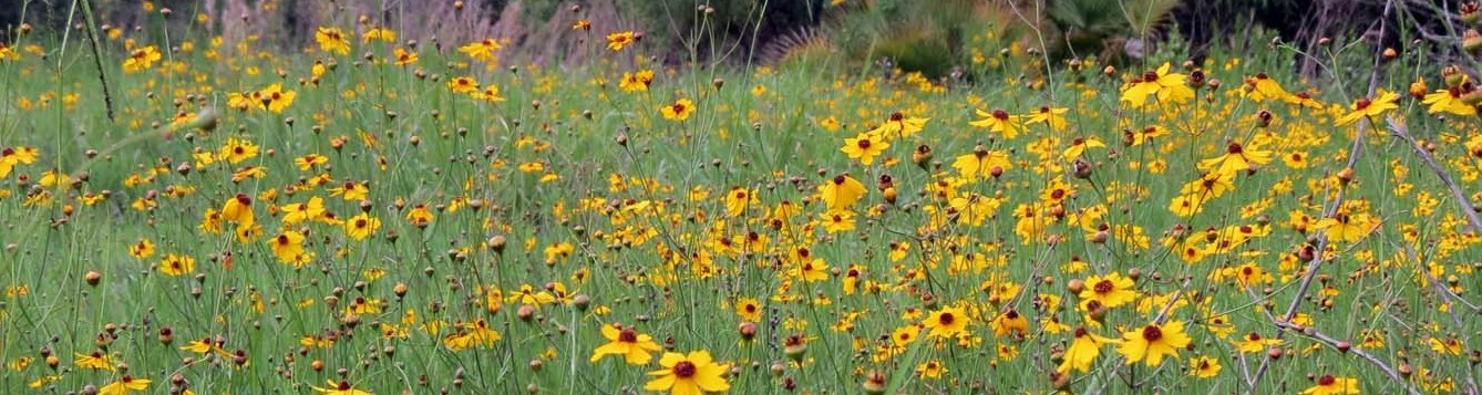 Coreopsis in bloom