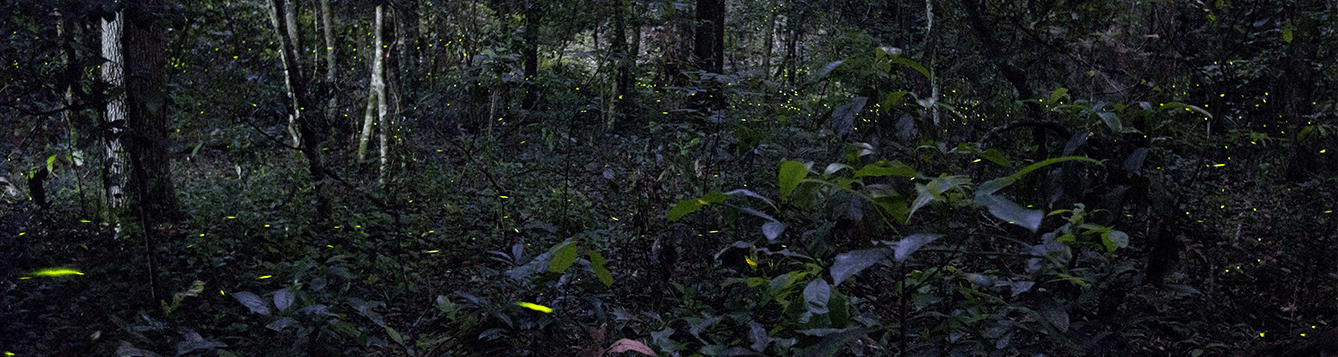 Fireflies in Florida forest.