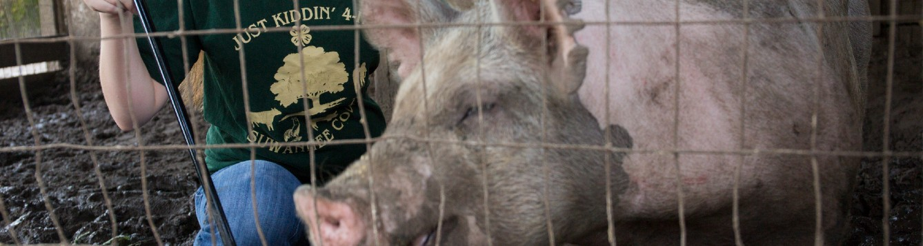 4-H youth caring for project hog
