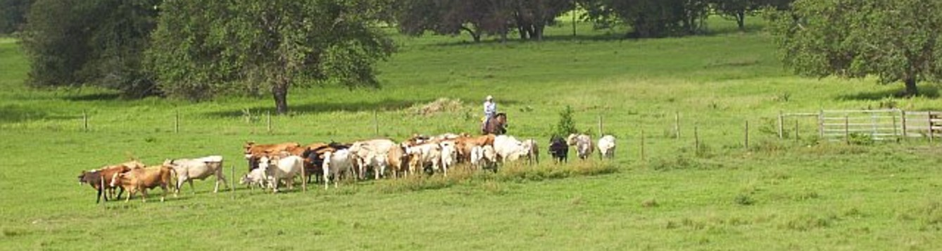 cattle being driven to the pens on a South Florida beef cattle operation
