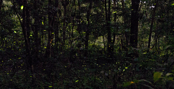 Medium exposure of fireflies in dark Florida forest.