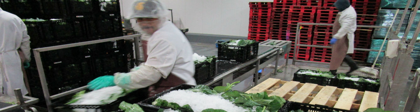 worker handling fresh greens in packing house