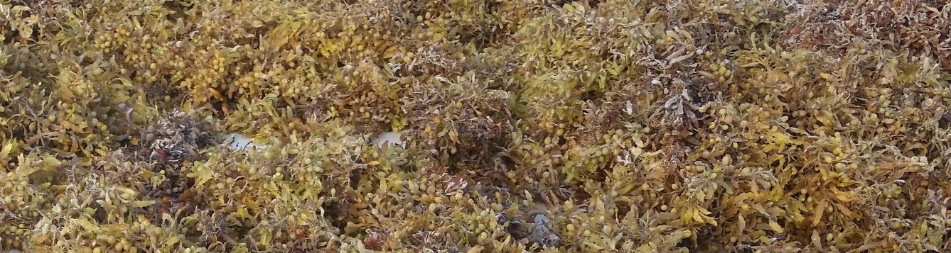 Sargassum seaweed washed up on a beach