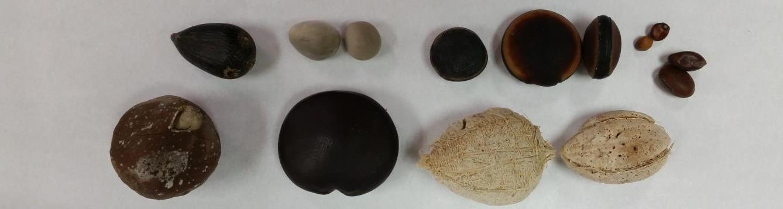 several different sea beans (drift seeds)