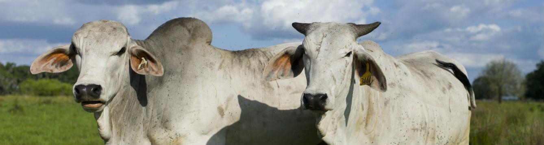 Brahman bull and cow head shots