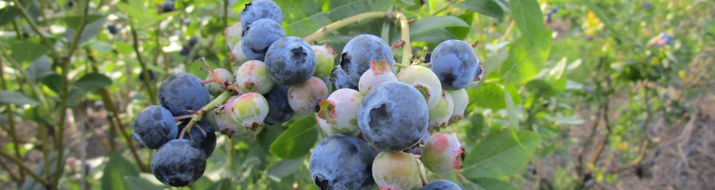 cluster of blueberries on bush