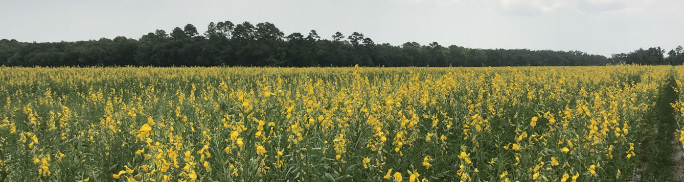 field of sunn hemp in bloom