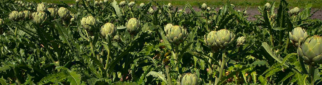 artichokes budding in the field