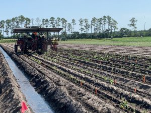 Mechanical planter in Hastings trial field