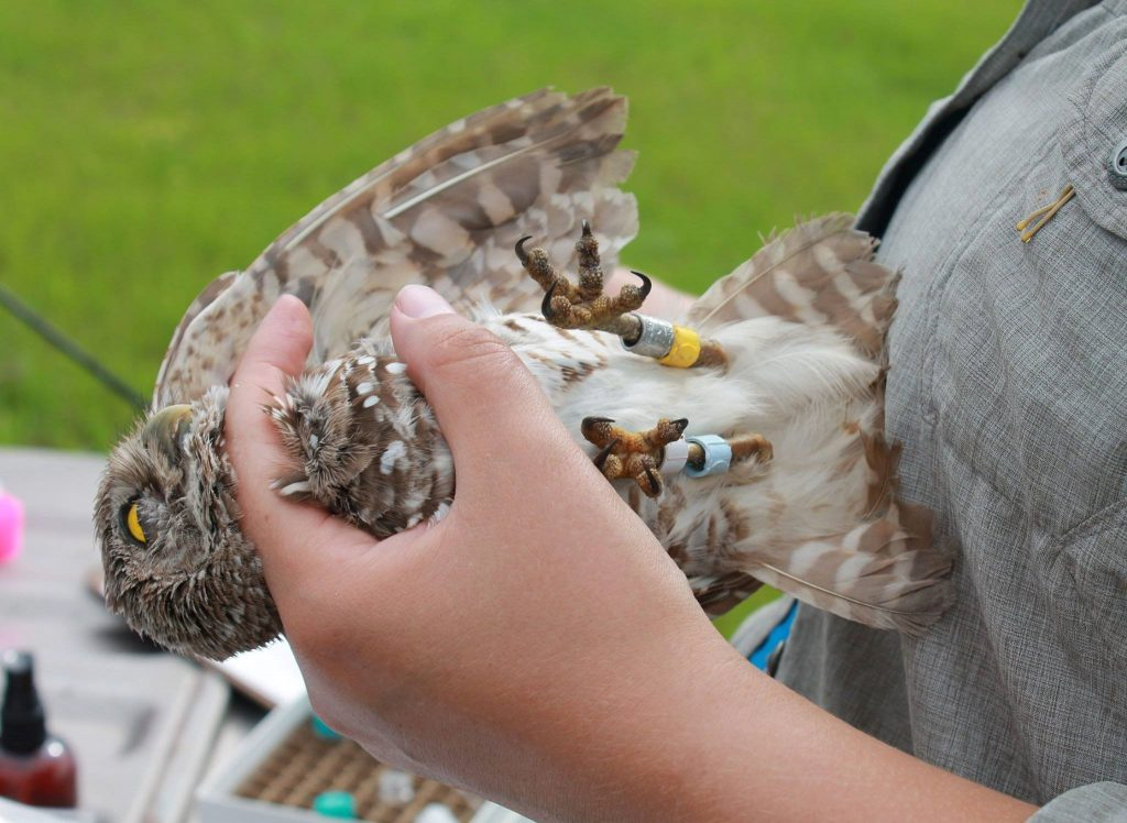 Liz holding a banded Florida Burrowing Owl.