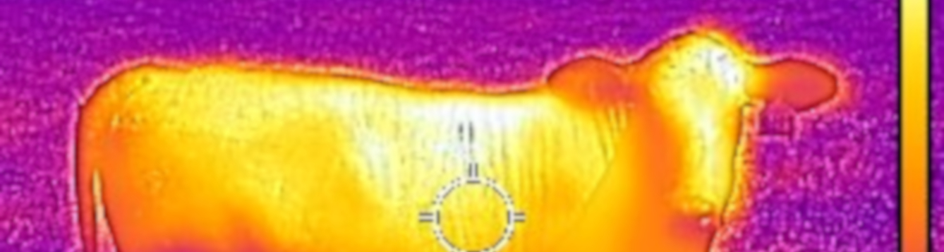 body surface temperature of replacement heifer