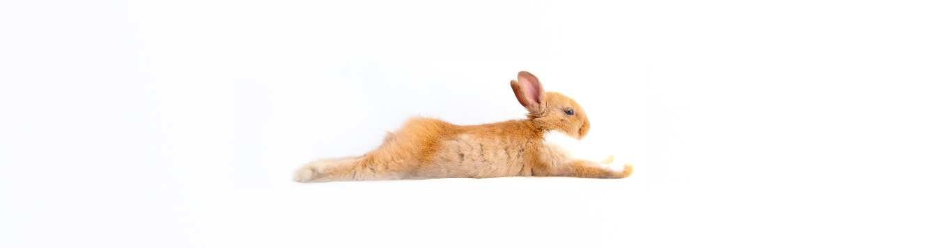 reclining rabbit on white background