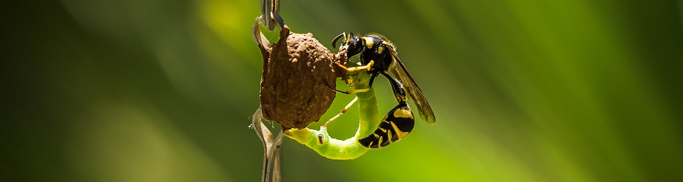 potter wasp and caterpillar