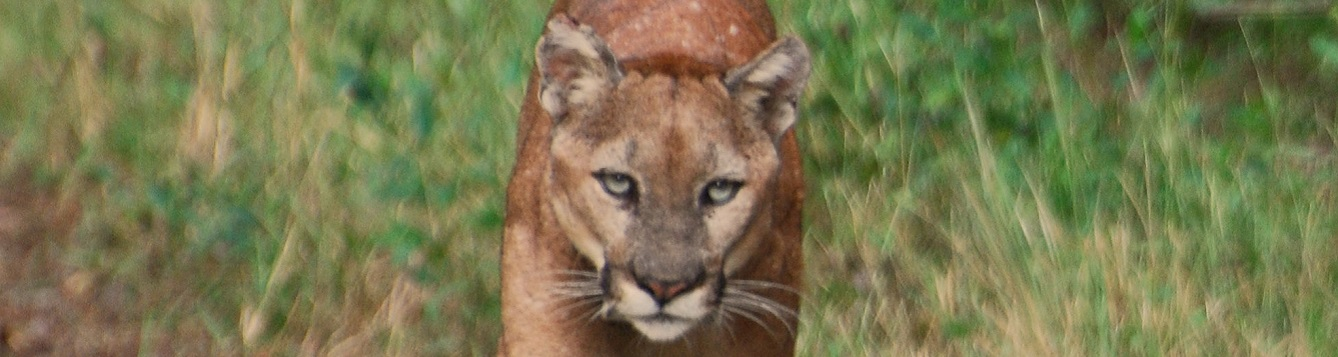 large florida panther walking on trail