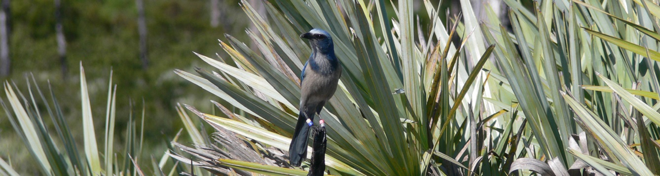 florida scrub jay perches in the wild