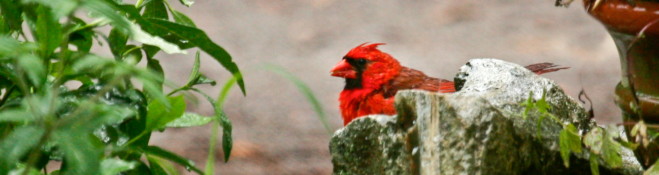cardinal in home yard