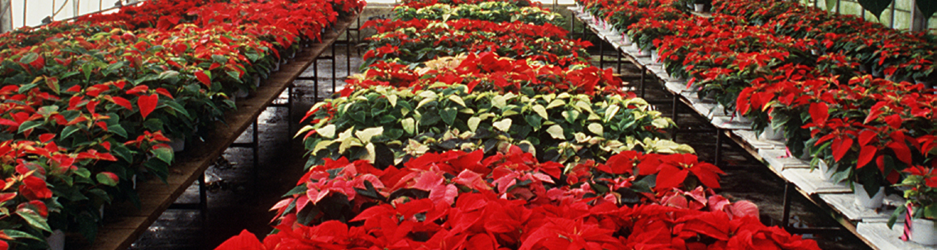 Poinsettias grow in a greenhouse at Gulf Coast Research and Education Center in Bradenton