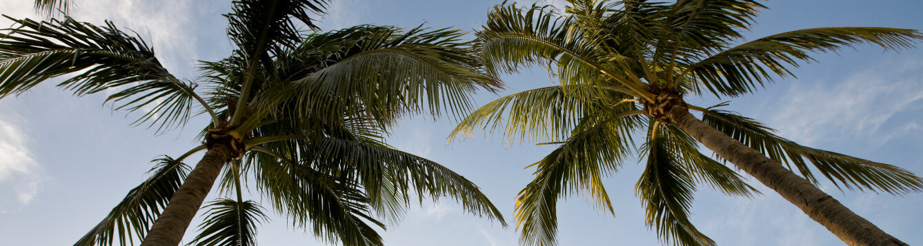 two palm tree crowns, as shown from ground looking up