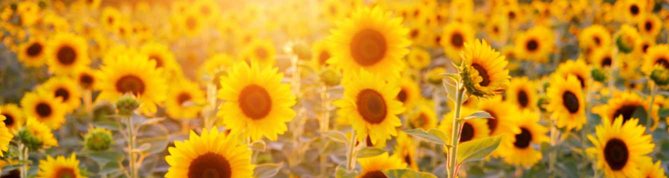 myriad sunflowers grow in a field as the sun sets in the distance