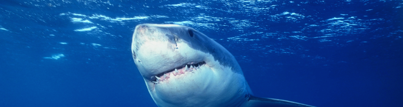 close-up of great white shark swimming in ocean
