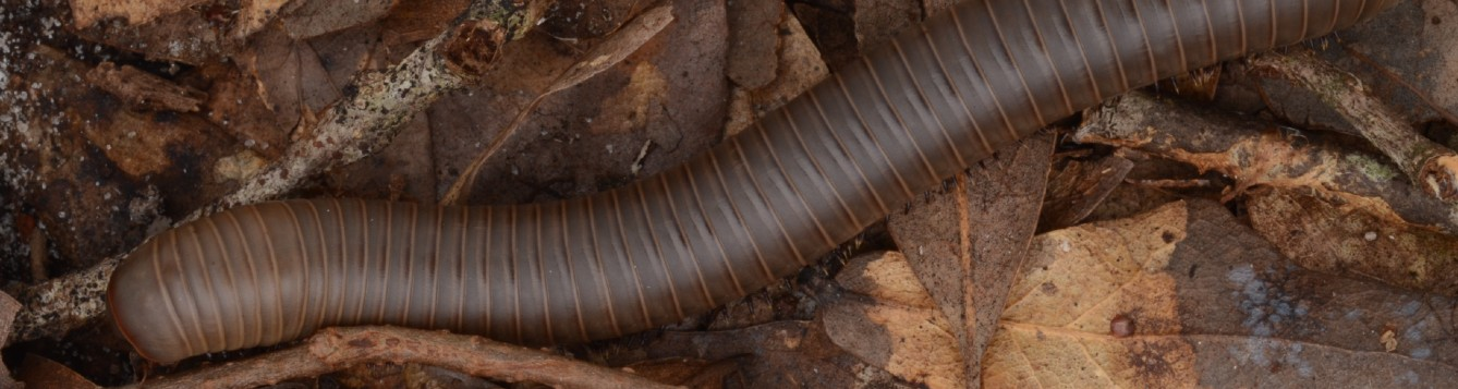 rust millipede in mulch pile, photo credit: L.Buss, UF