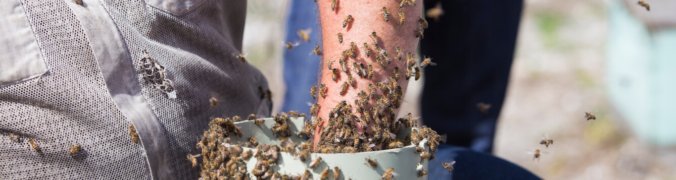A hand reaching into a container hive of honeybees. [CREDIT: UF/IFAS, Camila Guillen]