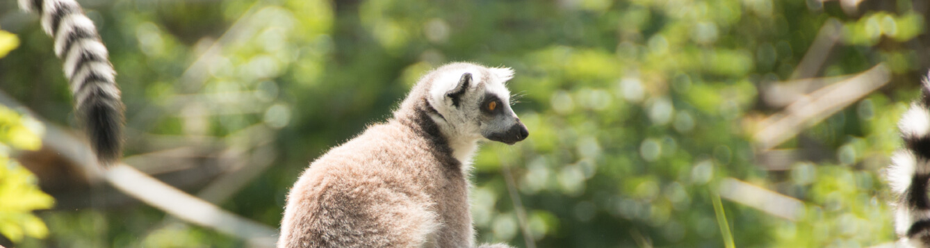ring-tailed lemur sits on a tree branch