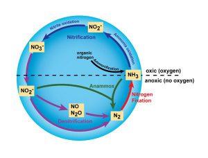Diagram of nitrogen cycle.
