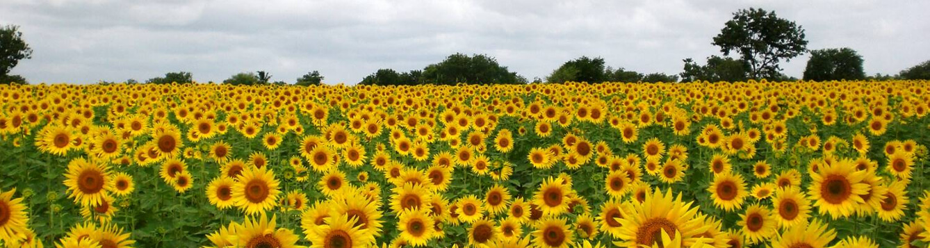 a field of sunflowers with clouds on the horizon