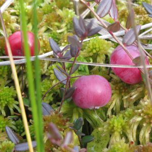 Cranberries grow on the plant. [CREDIT: Katt Neeme, Pixabay.com]