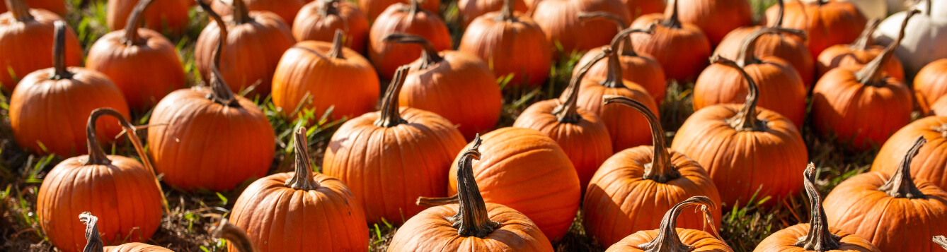 an array of pumpkins in the field. [CREDIT: UF/IFAS Extension]