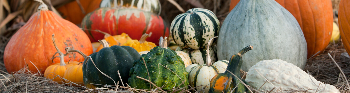 An array of winter squash in the field [CREDIT: UF/IFAS]