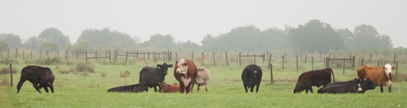Beef cattle at the Ona Range Cattle Research & Education Center. [CREDIT: UF/IFAS]