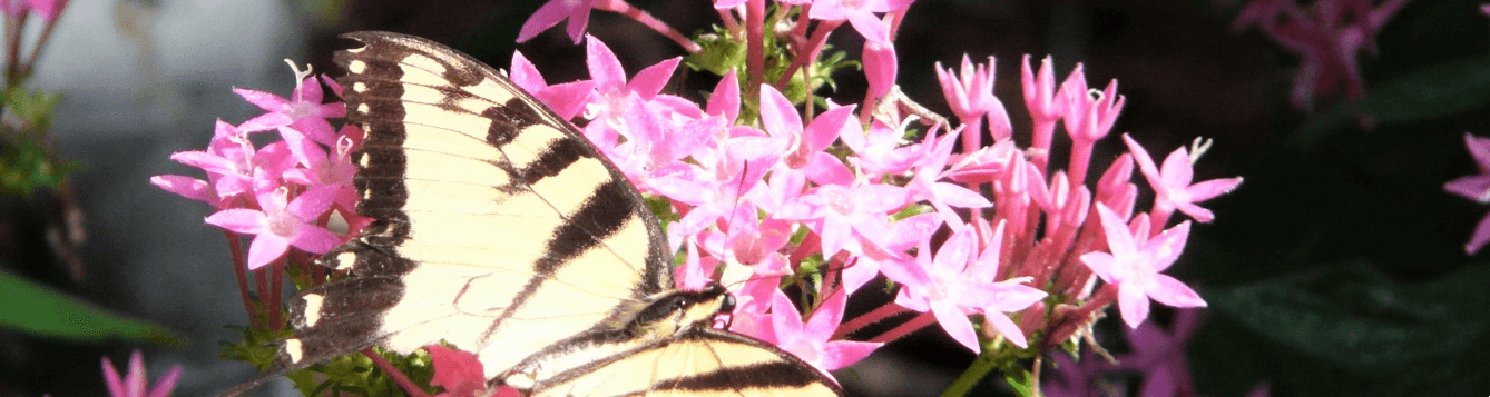Pentas, with tiger swallowtail. [CREDIT: UF/IFAS Extension Sarasota County, Wilma Holley]
