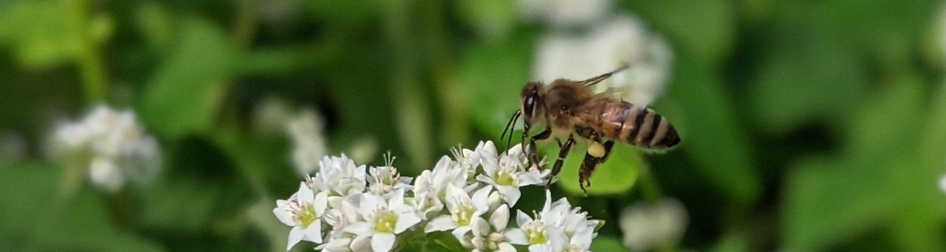 bee flying to white flowers