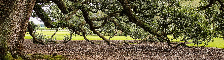 Hurricane Tree Selection Live Oak