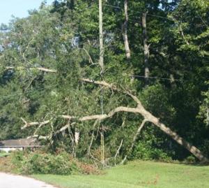 tree hanging on powerline